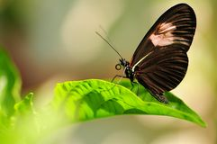 Postman (Heliconius) butterfly Stock Image