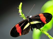 Postman (Heliconius) butterfly Stock Images
