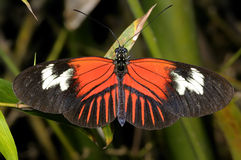 Postman, heliconius melpomene madiera Royalty Free Stock Photo