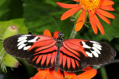 Postman, heliconius melpomene madiera Royalty Free Stock Photography