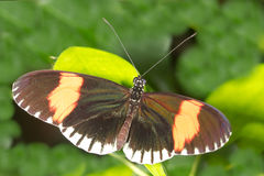 Postman Longwing butterfly. Top view with green background Royalty Free Stock Image