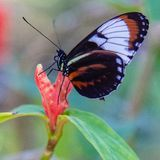 Postman tropical butterfly on pink flower. From the Butterfly World, Coconut Creek near Fort Lauderdale Florida FL United States US. Beautiful butterfly. Nice stock images