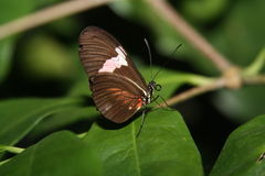 Postmen butterfly. A  Postmen Butterfly on tropical plants Stock Image