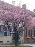 Posto di Cherry Blossom fotografie stock