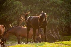 Posto di innaffiatura vicino del cavallo nero Immagini Stock
