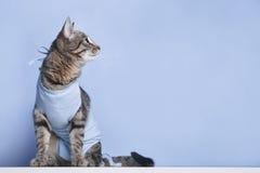 Postoperative επίδεσμος σε μια γάτα μετά από μια σπηλαιώδη λειτουργία στοκ φωτογραφία