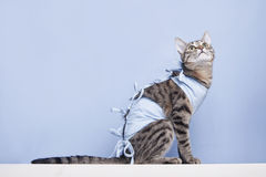 Postoperative bandage on a cat. Care of a pet after a cavitary operation castration, sterilization Royalty Free Stock Photo