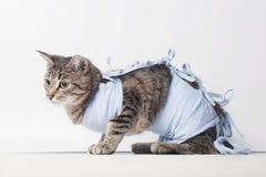 Postoperativer Verband auf einer Katze nach einer höhlenartigen Operation Stockfotografie