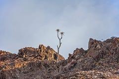 Postos em perigo tremem o pillansii 4 de Aloidendron da árvore Imagens de Stock