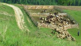 Postu przedni widok stado cakle wchodzić do w sheepfold zbiory wideo