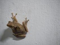 Postura da rã na parede branca Fotografia de Stock Royalty Free