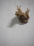 Postura da rã na parede branca Imagem de Stock Royalty Free