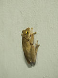 Posture de grenouille sur le mur blanc Images libres de droits