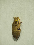 Posture de grenouille sur le mur blanc Photo stock