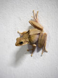 Posture de grenouille sur le mur blanc Photos stock