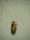 Posture de grenouille sur le mur blanc Images stock