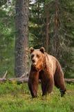 Posture puissante d'ours de Brown image libre de droits