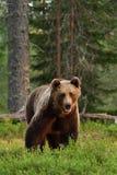 Posture puissante d'ours de Brown photographie stock libre de droits