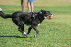 Posture of speed for the herder. Streamlined Border Collie running fast at dog park with ball in mouth Stock Photos