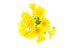 Posy arrangement of yellow chrysantemum. On a white background royalty free stock image