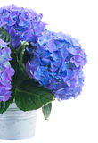 Posy of blue hortensia flowers close up. Posy of blue hortensia flowers in metal pot close up isolated on white background stock image