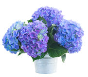Posy   of blue hortensia flowers. In metal pot  isolated on white background Royalty Free Stock Image
