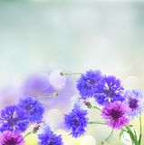 Blue cornflowers Stock Images