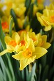 Posy of bright yellow spring daffodils in a vase placed in the living room as a decoration. Vertical photo, Wallpaper. Narcissus of yellow color in glass vase Royalty Free Stock Images