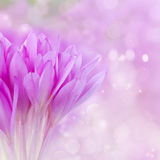Posy of crocus flowers. Posy of  purple meadow saffron crocus flower Stock Photography