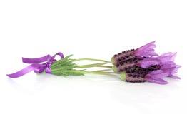 Posy de fleur d'herbe de lavande image libre de droits