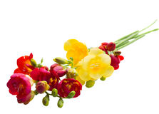 Posy of freesias flowers Royalty Free Stock Photography