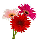 Posy of gerbera flowers Royalty Free Stock Images