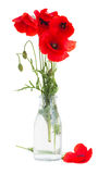 Posy of poppy flowers Stock Image