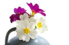 Primroses. Details of pink and white primrose blossoms in a blue ceramic vase on white background Royalty Free Stock Images