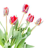 Posy of red parrot tulips Royalty Free Stock Photography