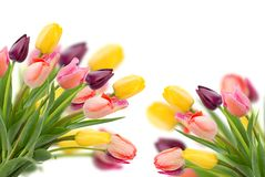 Posy of tulips flowers close up. Posy of spring tulips flowers close up over white background Royalty Free Stock Image