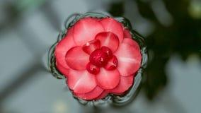 Poszarpany Japoński kameliowy kwiat unosi się na wodnej powierzchni Długi szerokość sztandar fotografia royalty free