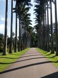 Potężna aleja wysocy nikli drzewka palmowe Zdjęcia Stock