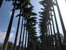Potężna aleja wysocy nikli drzewka palmowe Fotografia Royalty Free