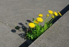 Potężni natur dandelions Zdjęcie Stock