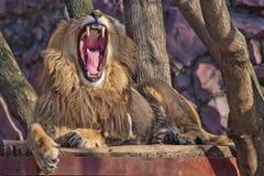 Potężny męski lew z luksusową grzywą warczy szerokiego otwarcie ogromny drapieżczy czerwony usta obrazy royalty free