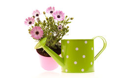 Pot With African Daisies And Watering Can Stock Image