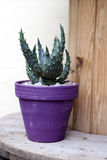 Pot with aloe vera plant Stock Images