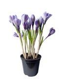 Pot avec des fleurs de ressort Image stock