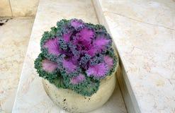 Pot avec le chou décoratif - feuilles lilas dans un cadre vert de dentelle photos libres de droits