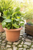 Pot with banana tree in summer yard Royalty Free Stock Images