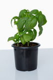 Pot of basil plant Stock Photos