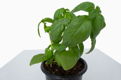 Pot of basil plant Stock Photography