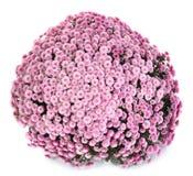 A pot of beautiful pink autumn chrysanthemums Stock Photos