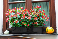 Pot with  begonia  flowers Stock Image